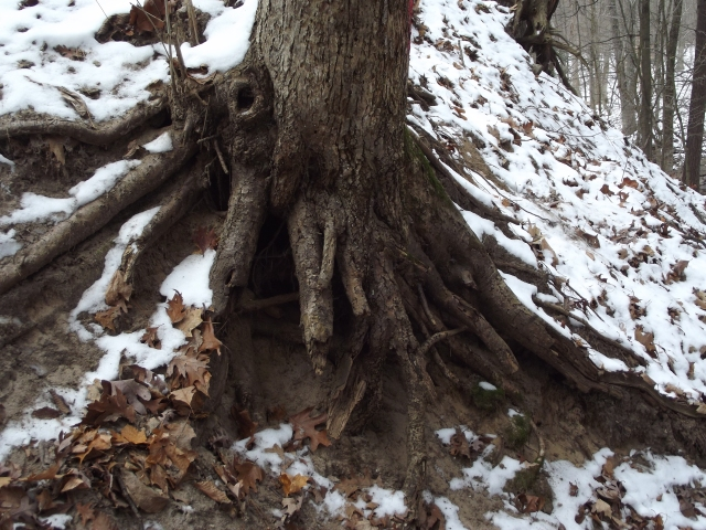 Roots in Aman Park
