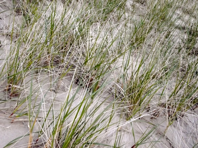 dune grass in ludington