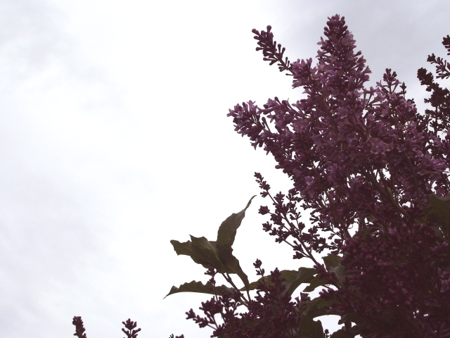 Lilacs and the sky