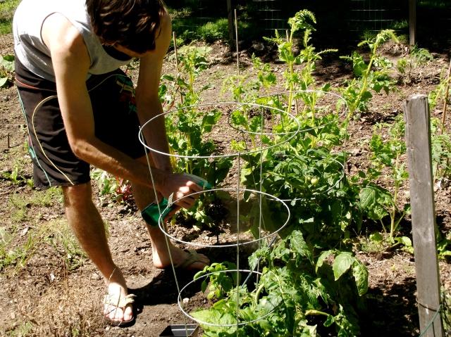 Sean tending the tomatoes