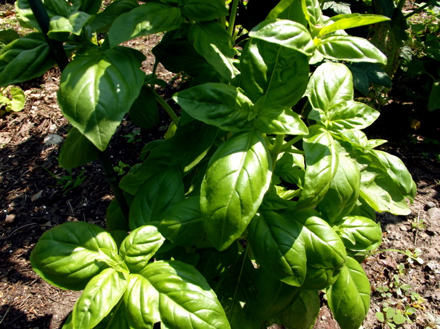 basil plant outside