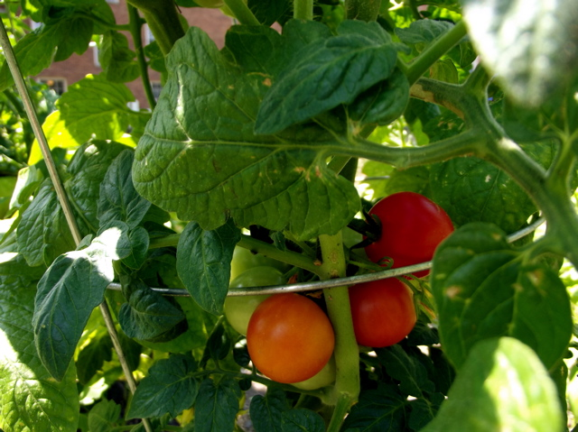 little red tomatoes on vine